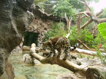 Leopard im Gehege - Loro Parque