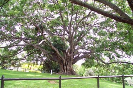 Uraltbaum? - Botanischer Garten Royal Botanic Gardens