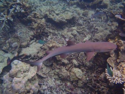 Hausriff - Schnorcheln Ari Atoll