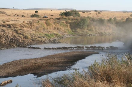 Gnus auf der Wanderung - Masai Mara Safari