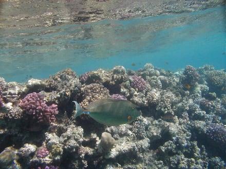 Rotes Meer, Kurznasendoktorfisch - Tauchen Makadi Bay