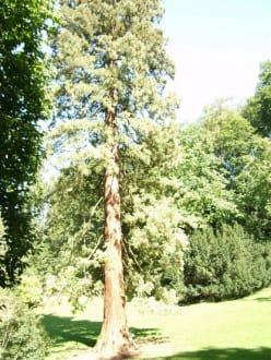 52 m hoher Mammutbaum im Park - Fürstenlager