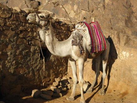 auf der Safari - Mosesberg (Gebel Musa) / Berg Sinai