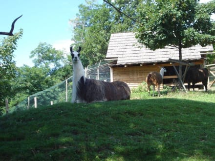 Lama - Tierwelt Herberstein