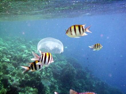 Fische plündern Qualle - Tobia Island