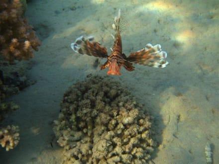 Rotfeuerfisch am Abend - Schnorcheln Makadi Bay