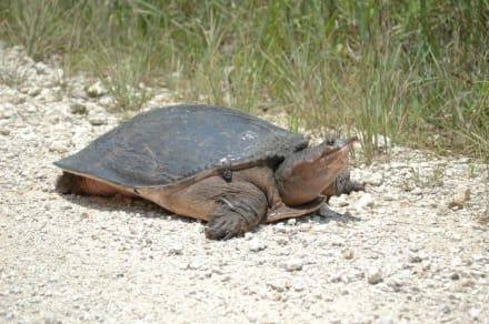 Riesenschildkröte in der Loop Raod - Loop Road