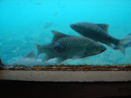 Fische, Mzima Springs - Tsavo West Nationalpark