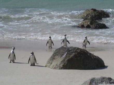 Pinguine am Strand - Boulders Beach