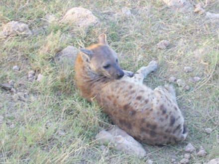 Nach der Mahlzeit - Amboseli Nationalpark