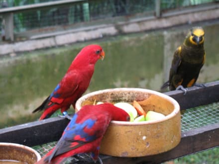 Lori Fütterung - Kuala Lumpur Vogelpark
