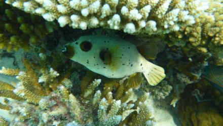 Kugelfisch (schnorchelnd) - Schnorcheln Ari Atoll