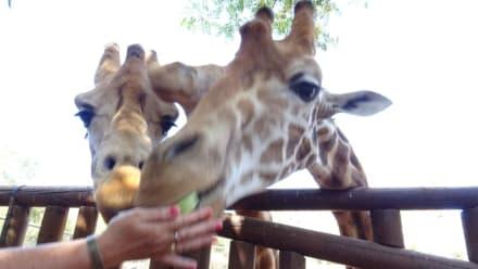 Girafen - Oasis Park