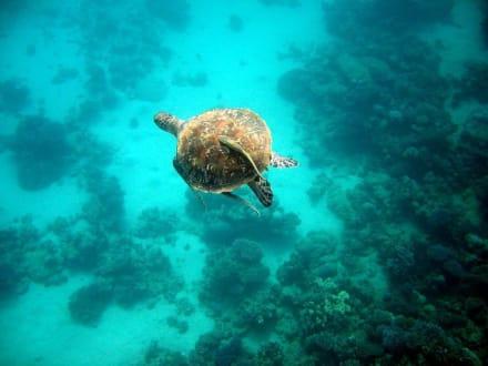 Wunderschöne Schildkröte - Hausriff Hotel Lahami Bay Berenice