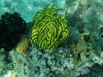 Haarstern - Unterwasser um Gilli Air