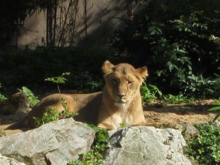 Löwenfreigehege - Zoo Frankfurt