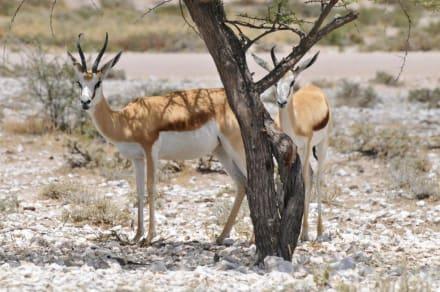 Im Schatten - Etosha Nationalpark