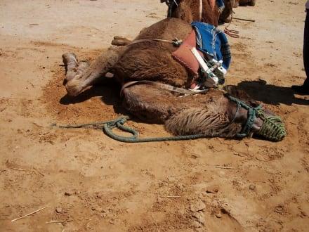 Endlich zu hause - Kamelreiten Nabeul