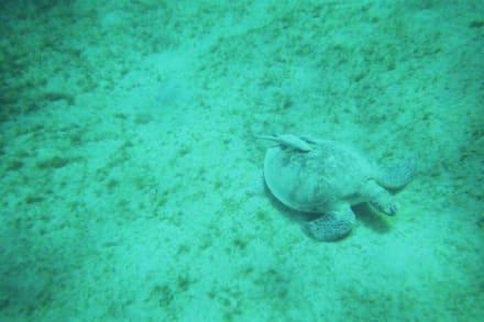 Schildkröte beim Grasen - Tauchen Abu Dabab