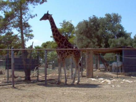 Giraffe - Safari Zoo