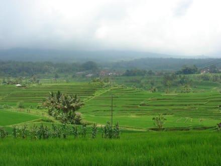 Reisterrassen von Jatiluwih - Reisterrassen