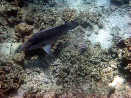 Sharks Bay - Napoleon Lippfisch - Sharks Bay
