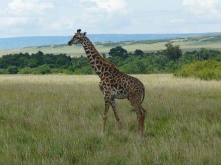Eine von vielen Giraffen - Masai Mara Safari