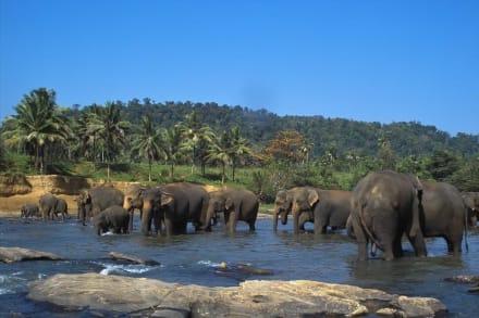 Badespaß im Fluss Maha Oya 4-4 - Elefantenwaisenhaus Pinnawela