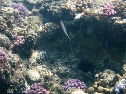 Die Korallen erholen sich wieder - Tauchen Samaya Hausriff Marsa Alam