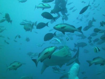 Bull Shark Diving - Bullenhai Tauchen