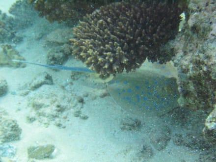 Blaupunktrochen - Schnorcheln Hurghada