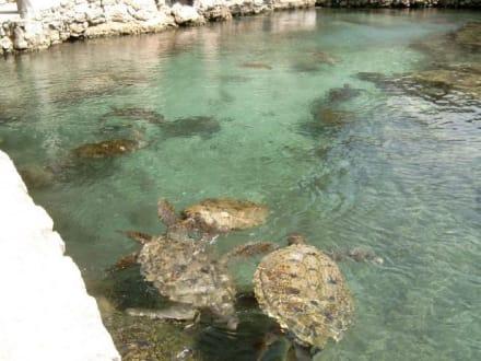 Wasserschildkröten - Freizeitpark Xcaret