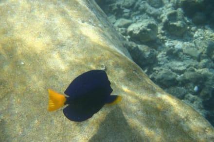 Dory-Blauer Segelflossen-Doktor - Schnorcheln Hurghada