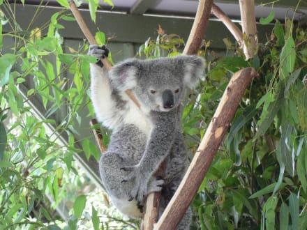 Koala wie ein Supermodell - Lone Pine Koala Sanctuary