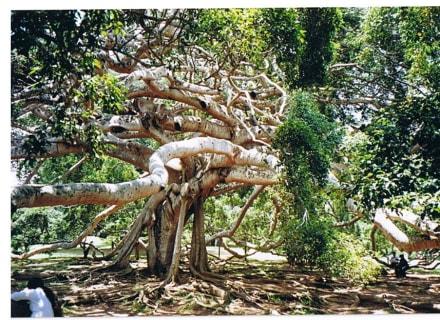Benjamin - Botanischer Garten Peradeniya