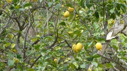 Zitronenbäume am Port de sa Calobra - Bucht Sa Calobra / Torrent de Pareis