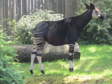 Okapi - Kurzhalsgiraffe - Zoo Frankfurt