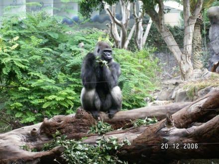 Ein Gorilla - Loro Parque