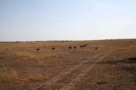 Straußenkindergarten - Masai Mara Safari