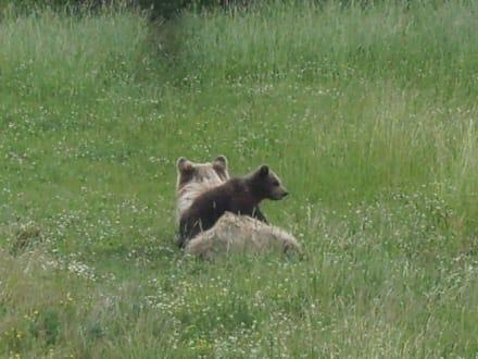 Bärenmutter mit Nachwuchs - Wildpark Poing