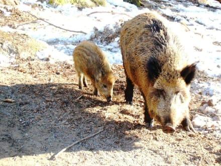 Wildschweine - Tierfreigehege