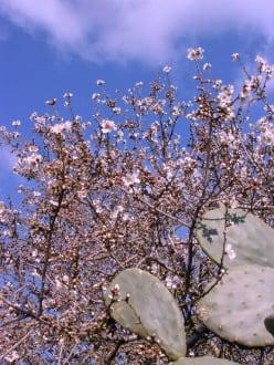 Anfänge der Mandelblühte - Wandern
