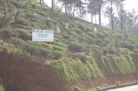 Ausflug Tourenveranstalter Kapila de Silva - Teeplantagen