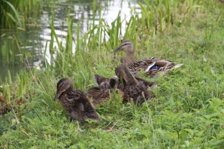 Junge Entenfamilie am See - Park Schönbusch