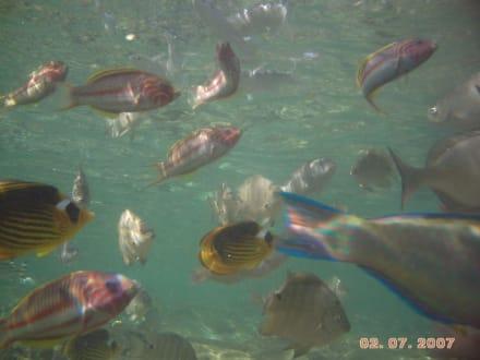 Fische unmittelbar in Strandnähe - Schnorcheln Nabq Bay