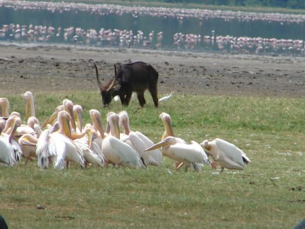 Wasserbock und Pelikane - Lake Nakuru Nationalpark