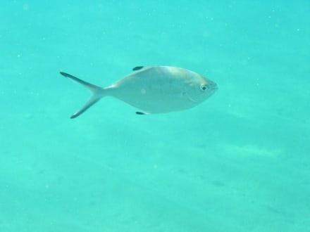 Fisch - Tauchbasis Active Divers Alanya