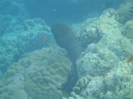 Muräne - Schnorcheln Baa Atoll