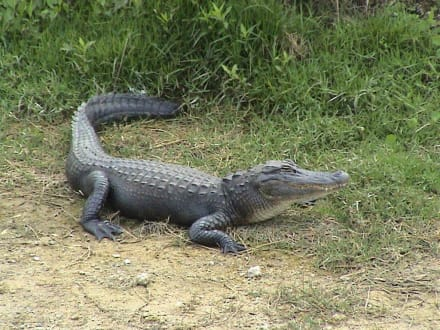 Neben der Strasse.. - Everglades National Park
