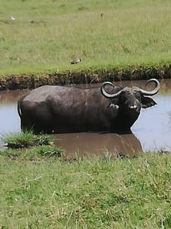 Büffel im Pool - Masai Mara Safari